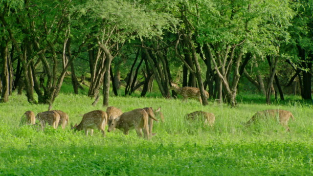 spotted deers - national grassland stock videos & royalty-free footage