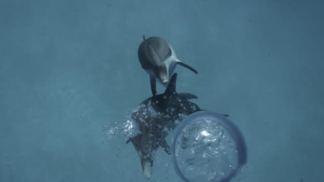 spotted dolphin blows bubbles toward camera, bahamas - bimini bildbanksvideor och videomaterial från bakom kulisserna