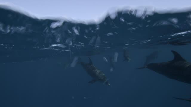 spotted dolphin pod swims at surface, bahamas - bimini bildbanksvideor och videomaterial från bakom kulisserna
