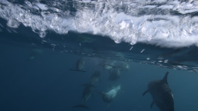 spotted dolphin pod swims at surface, bahamas - dolphin stock videos & royalty-free footage