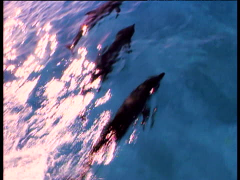 spotted dolphin school swims in clear blue tropical sea, bahamas - spotted dolphin stock videos and b-roll footage