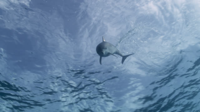 spotted dolphin surfaces and dives, bahamas - surfacing stock videos & royalty-free footage