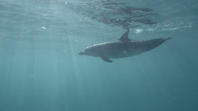 vidéos et rushes de spotted dolphin surfaces in blue ocean, bahamas - dauphin tacheté
