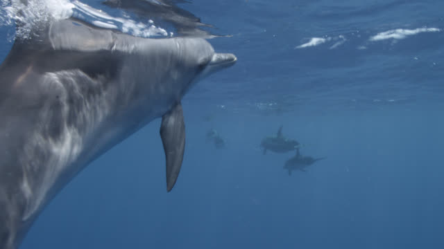 spotted dolphin surfaces in blue ocean, bahamas - bimini stock videos & royalty-free footage