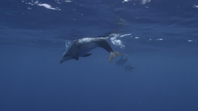stockvideo's en b-roll-footage met spotted dolphin surfaces in blue ocean, bahamas - bimini