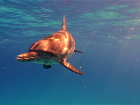 ms, spotted dolphin swimming in ocean, bahamas - spotted dolphin stock videos and b-roll footage