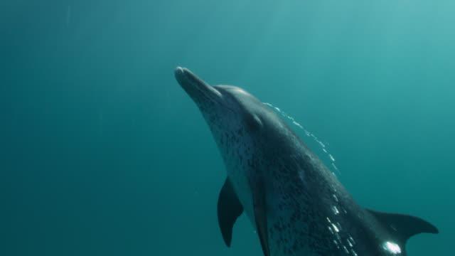 vidéos et rushes de spotted dolphin swims and blows bubbles, bahamas - dauphin tacheté