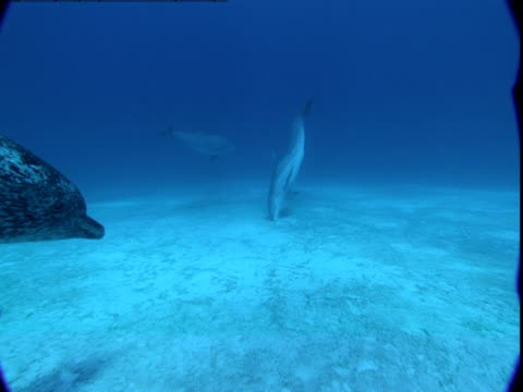 a spotted dolphin swims past other dolphins along a sandy seabed. - spotted dolphin stock videos and b-roll footage