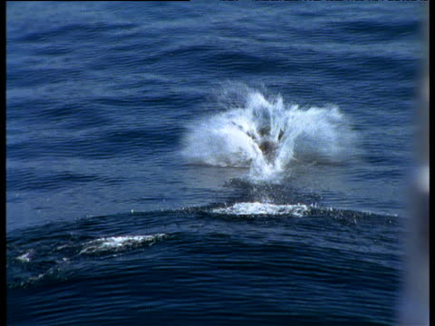 vidéos et rushes de spotted dolphins bow riding in front of submarine, valdes peninsula - cetacea