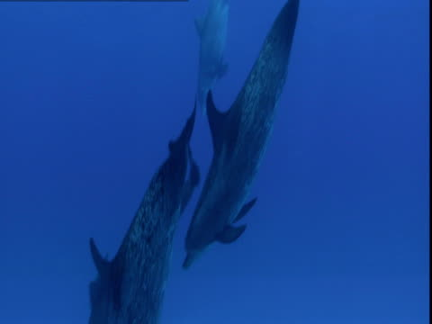vidéos et rushes de spotted dolphins descend through clear waters. - groupe de mammifères marins