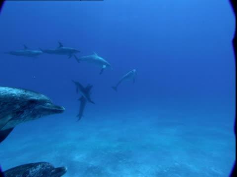 vidéos et rushes de spotted dolphins glide along a sunny seabed. - dauphin tacheté