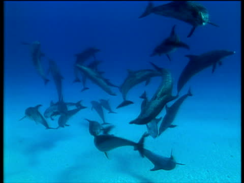 spotted dolphins in turquoise blue sea bahamas - cetacea stock videos & royalty-free footage