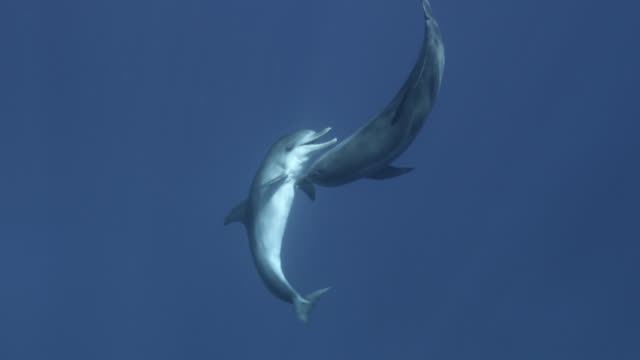spotted dolphins play in blue ocean, bahamas - bimini stock videos & royalty-free footage