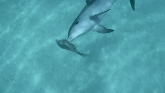 spotted dolphins play with orange filefish, bahamas - bimini stock videos & royalty-free footage