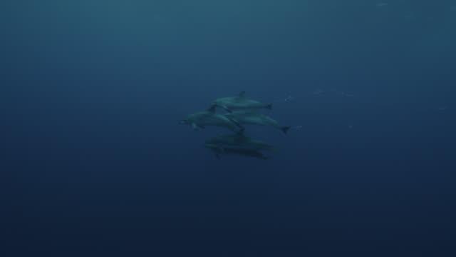 vidéos et rushes de spotted dolphins swim and blow bubbles, azores - dauphin tacheté