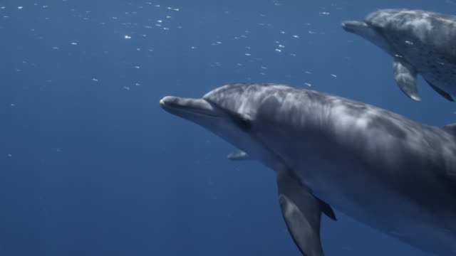 spotted dolphins swim at surface, bahamas - bimini stock videos & royalty-free footage