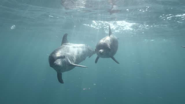 vidéos et rushes de spotted dolphins swim at surface of ocean, bahamas - dauphin tacheté
