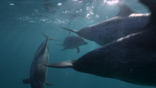 vídeos y material grabado en eventos de stock de spotted dolphins swim at surface of ocean, bahamas - bimini