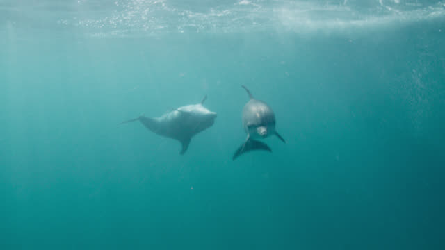 spotted dolphins swim in blue ocean, bahamas - bimini stock videos & royalty-free footage