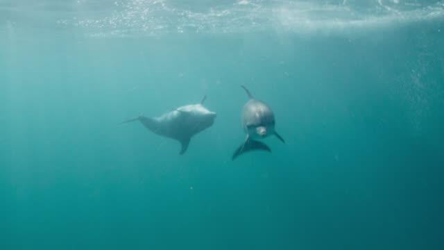 vidéos et rushes de spotted dolphins swim in blue ocean, bahamas - dauphin tacheté