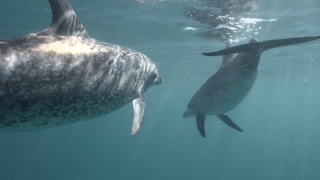 vídeos y material grabado en eventos de stock de spotted dolphins swim in blue ocean, bahamas - bimini