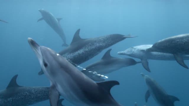 stockvideo's en b-roll-footage met spotted dolphins swim in blue ocean, bahamas - bimini