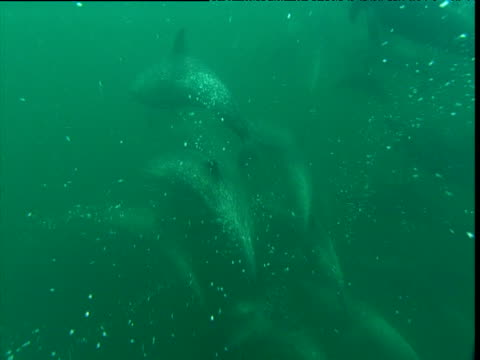 spotted dolphins swim past camera, costa rica - cetaceo video stock e b–roll