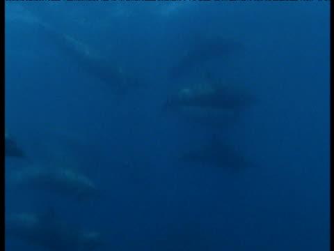 stockvideo's en b-roll-footage met spotted dolphins swim underwater, panama - cetacea