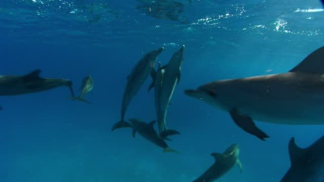 ms spotted dolphins swiming in ocean  audio / florida, united states - atlantic ocean stock videos and b-roll footage