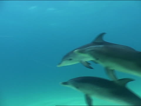 ms, pan, spotted dolphins swimming in ocean, bahamas - cetacea stock videos & royalty-free footage