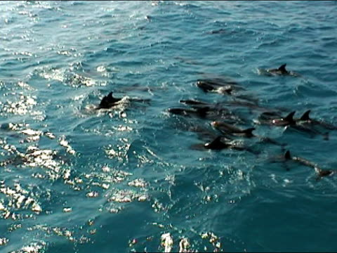 ms, ha, spotted dolphins swimming in ocean, bahamas - rückenflosse stock-videos und b-roll-filmmaterial