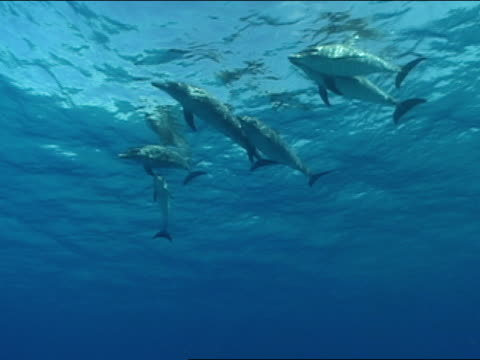 ms, spotted dolphins swimming in ocean, bahamas - cetacea stock videos & royalty-free footage