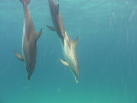 ms, spotted dolphins swimming in ocean, bahamas - piccolo gruppo di animali video stock e b–roll