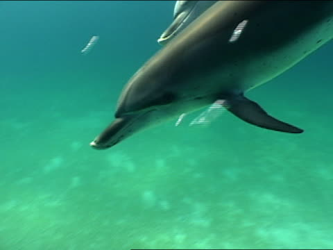 cu, spotted dolphins swimming in ocean, bahamas - cetacea stock videos & royalty-free footage