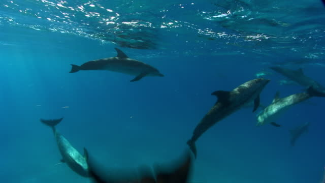 ms spotted dolphins swimming with juvenile dolphin  audio / florida, united states - spotted dolphin stock videos and b-roll footage