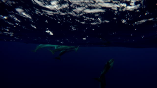 spotted dolphins underwater - north atlantic ocean stock videos & royalty-free footage