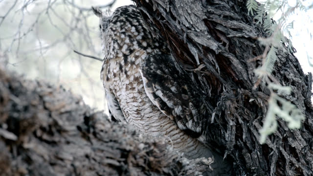 spotted eagle owl camouflage - owl stock videos & royalty-free footage
