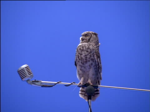 Spotted eagle owl perching on microphone stand