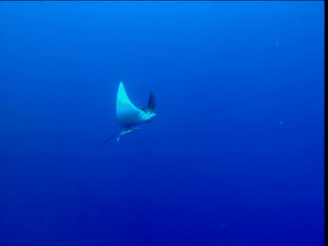 spotted eagle ray and remoras swim past camera, cayman islands - eagle ray stock videos and b-roll footage