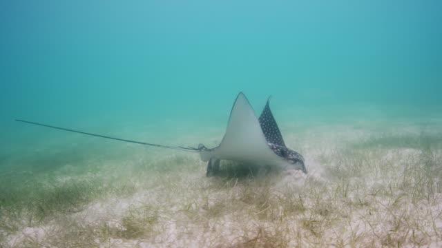 spotted eagle ray feeding - トビエイ点の映像素材/bロール