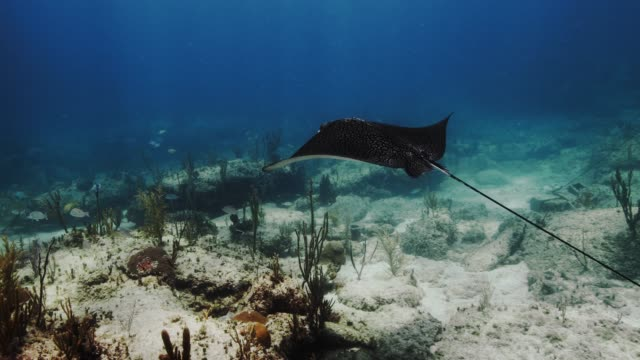 stockvideo's en b-roll-footage met spotted eagle ray in slow motion - zeedieren