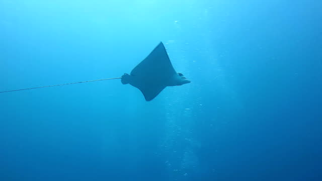 spotted eagle ray swimming in blue water, coiba island. - eagle ray stock videos and b-roll footage