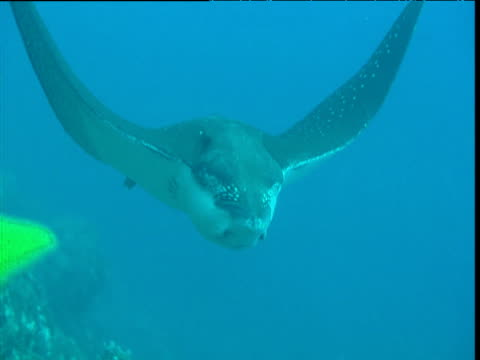 spotted eagle ray swims over camera, galapagos - eagle ray stock videos and b-roll footage