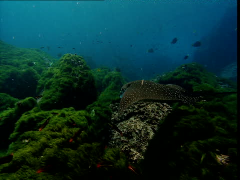 spotted eagle ray swims over reef, galapagos - eagle ray stock videos and b-roll footage