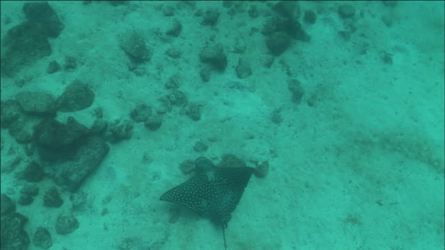 spotted eagle ray swims over sea bed. - eagle ray stock videos and b-roll footage