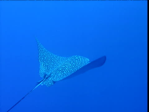 spotted eagle ray swims towards coral drop off, cayman islands - stingray stock videos and b-roll footage