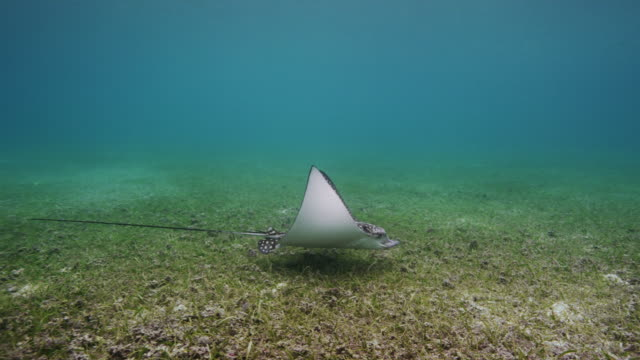 spotted eagle ray - sea grass plant stock videos & royalty-free footage