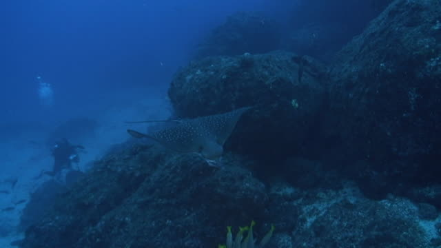 spotted eagle ray - eagle ray stock videos and b-roll footage