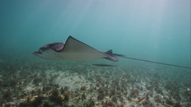 spotted eagle ray with remora - eagle ray stock videos and b-roll footage