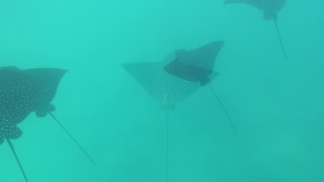 spotted eagle rays are among the most beautiful of all the stingrays. they are graceful and majestic, gliding seemingly effortlessly through the... - stechrochen stock-videos und b-roll-filmmaterial
